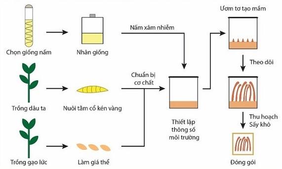Quy trình nuôi Đông trùng Hạ thảo