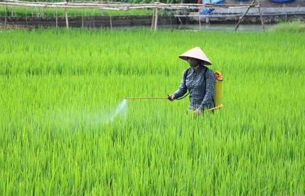Ảnh người nông dân đang phun thuốc trừ sâu trên lúa