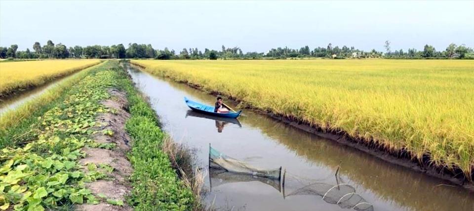 Cánh đồng lúa ST24 chờ thu hoạch tại huyện Phước Long, tỉnh Bạc Liêu