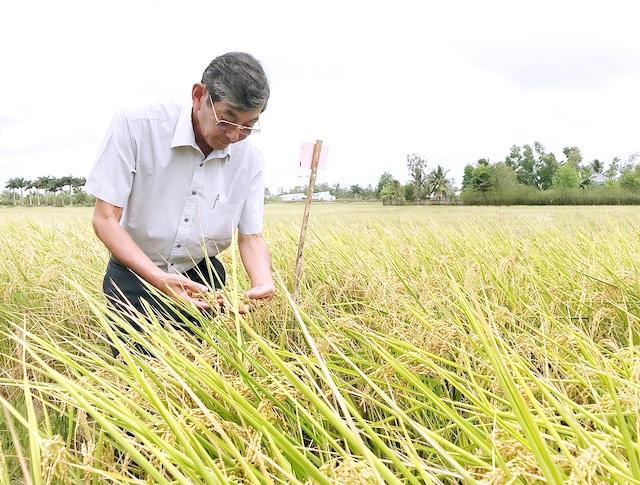 Kỹ sư Hồ Quang Cua tại cánh đồng lúa ST25