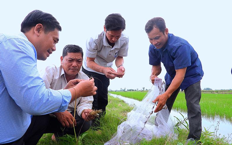 Mô hình trồng lúa xen canh tôm mang lại hiệu quả cho bà con nông dân trồng lúa