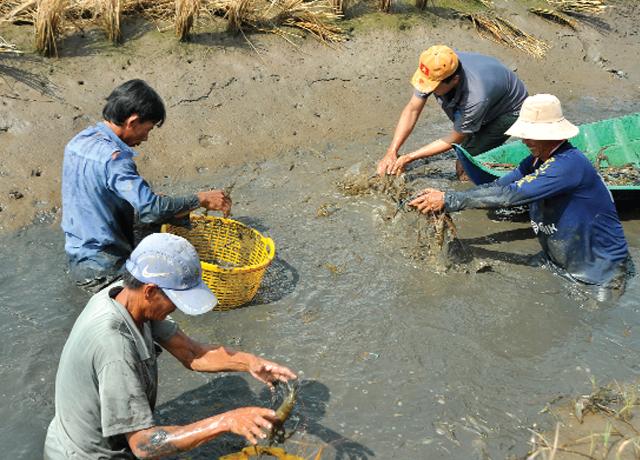 Thu hoạch tôm càng xanh trên mô hình lúa - tôm ở Bạc Liêu
