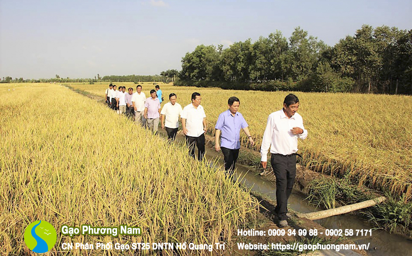 Nhiều đồng lúa ST25 tại Sóc Trăng đã chín vàng và bước vào mùa gặt