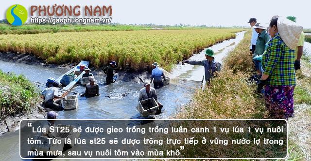 Lúa ST25 sẽ được gieo trồng luân canh 1 vụ lúa 1 vụ nuôi tôm.
