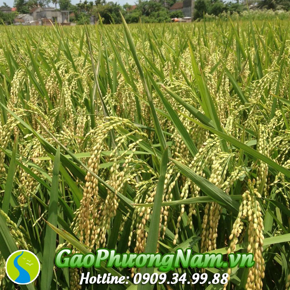 Lúa nếp cái hoa vàng hạt to và tròn hơn so với các loại lúa thông thường